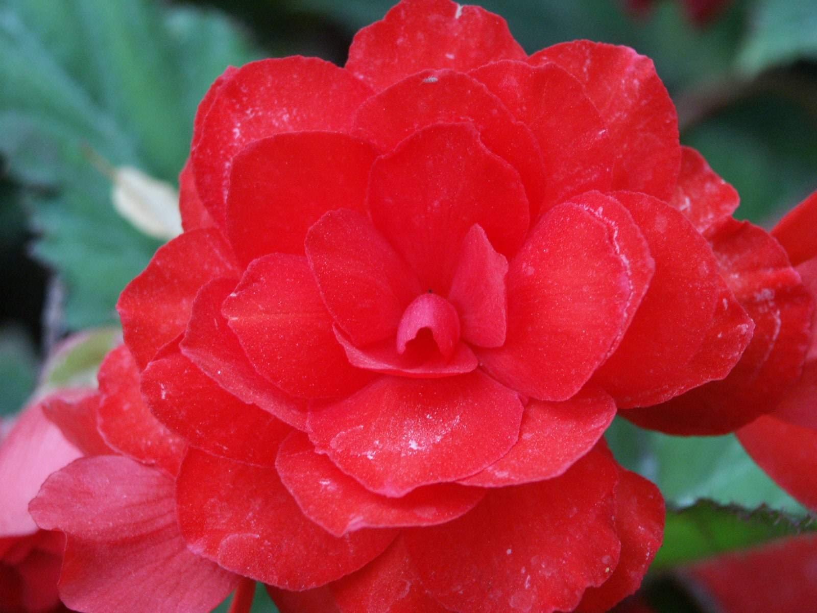 Цветок аленький цветочек уход
