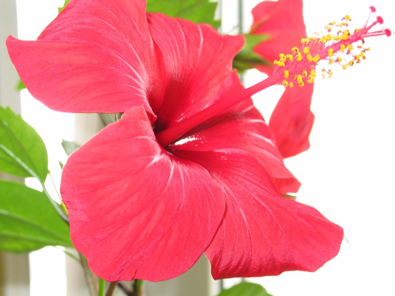 Гибискус комнатная фото цветка