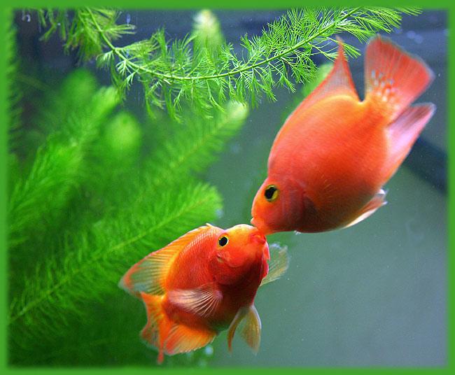 Рыба любви картинки