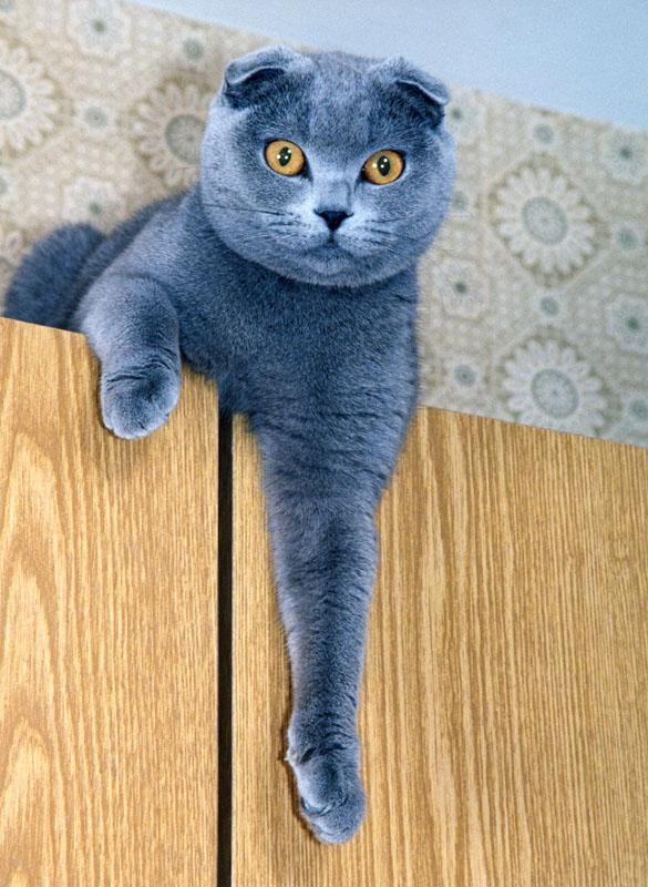 Шотландская вислоухая кошка или скоттиш-фолд- порода короткошерстных...