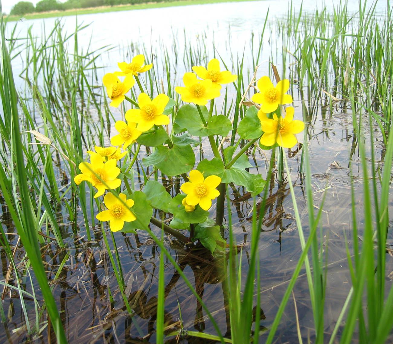 Цветы которые растут на болоте фото с названиями