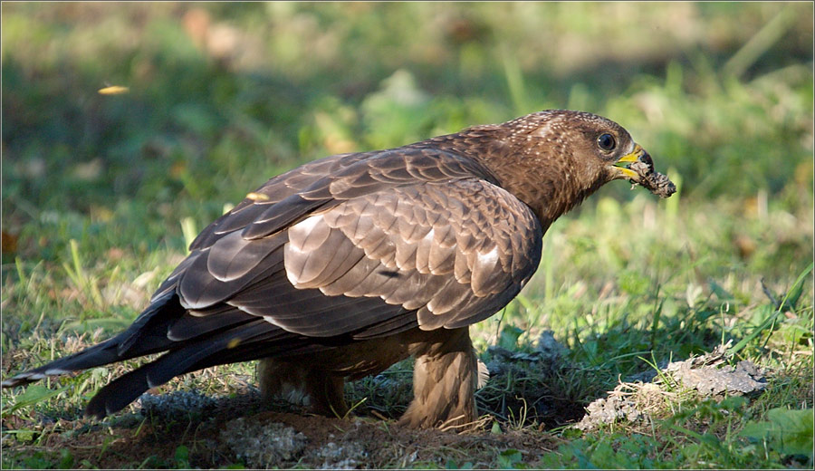 Хищные птицы Самарской области.