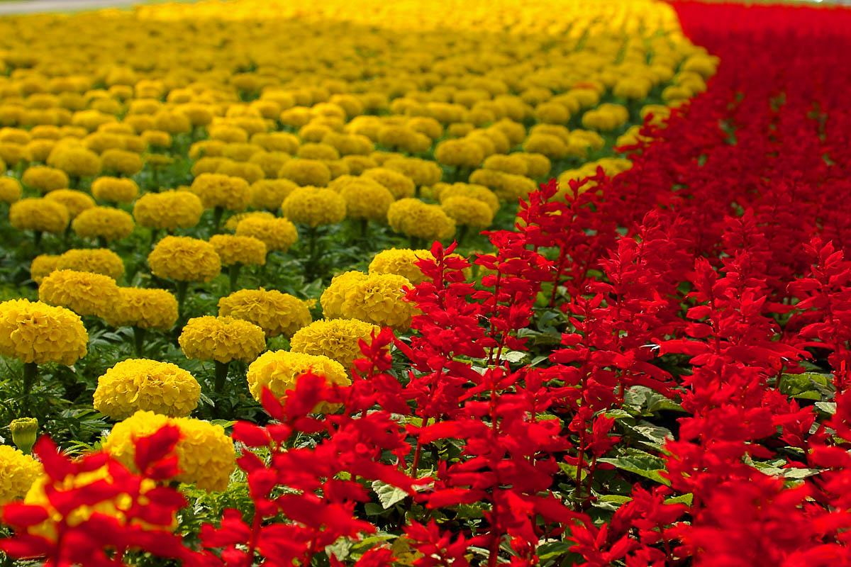 Желтое поле цветов и зеленый горизонт