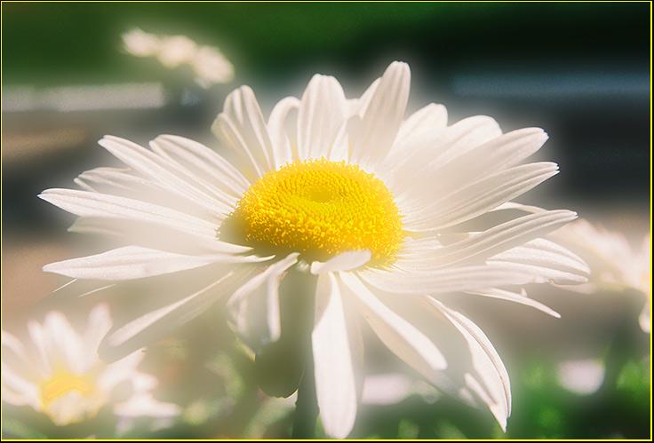 Утро ромашка обыкновенная цветы