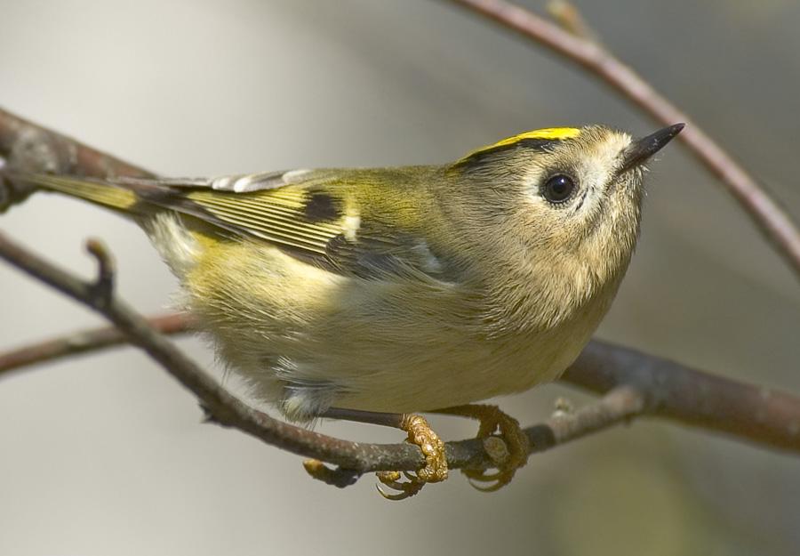 Королёк - самая маленькая из наших лесных птиц.