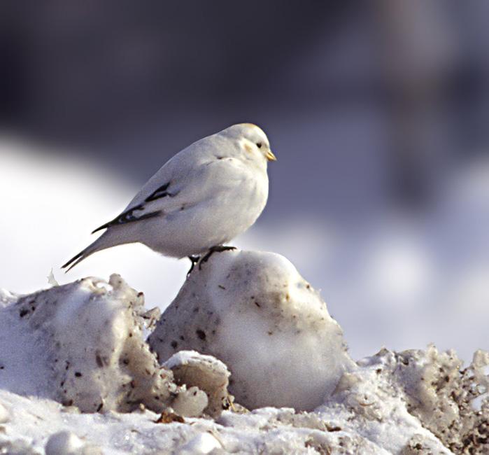 Зимующие птицы ямала фото детям