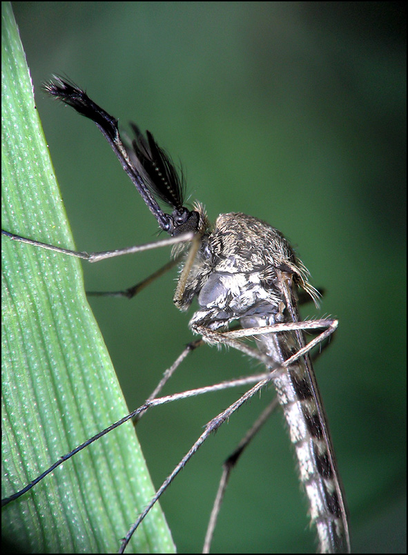 Yaroslav :: Вот такие они красавцы комары.