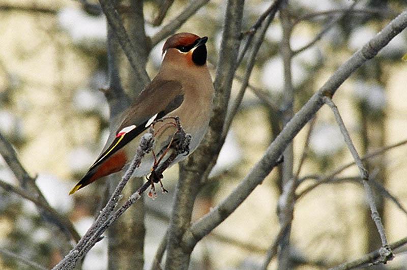 Рисунки птиц, птица, птицы, птичка, птички, сокол, сокол