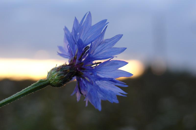 Цветок василёк в картинках 5