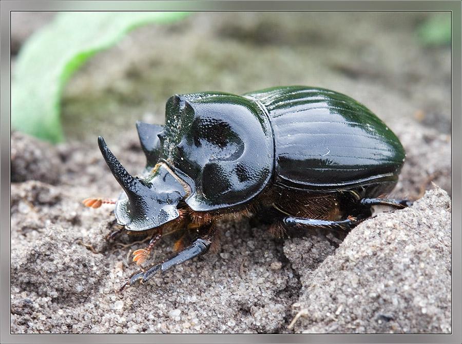Окружающий мир через фотообъектив - Insects: Coleoptera (Насекомые: Жуки) Часть 7 (194 фото) .