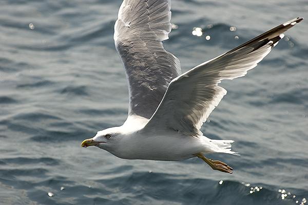 Обычно чайки кормятся на плотных косяках у поверхности моря.  Способы добычи рыбы весьма разнообразны.