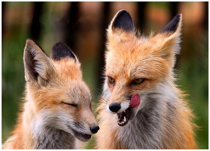 Прикольная картинка про лису