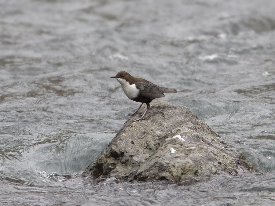 Обычная птица горных рек Кавказа.