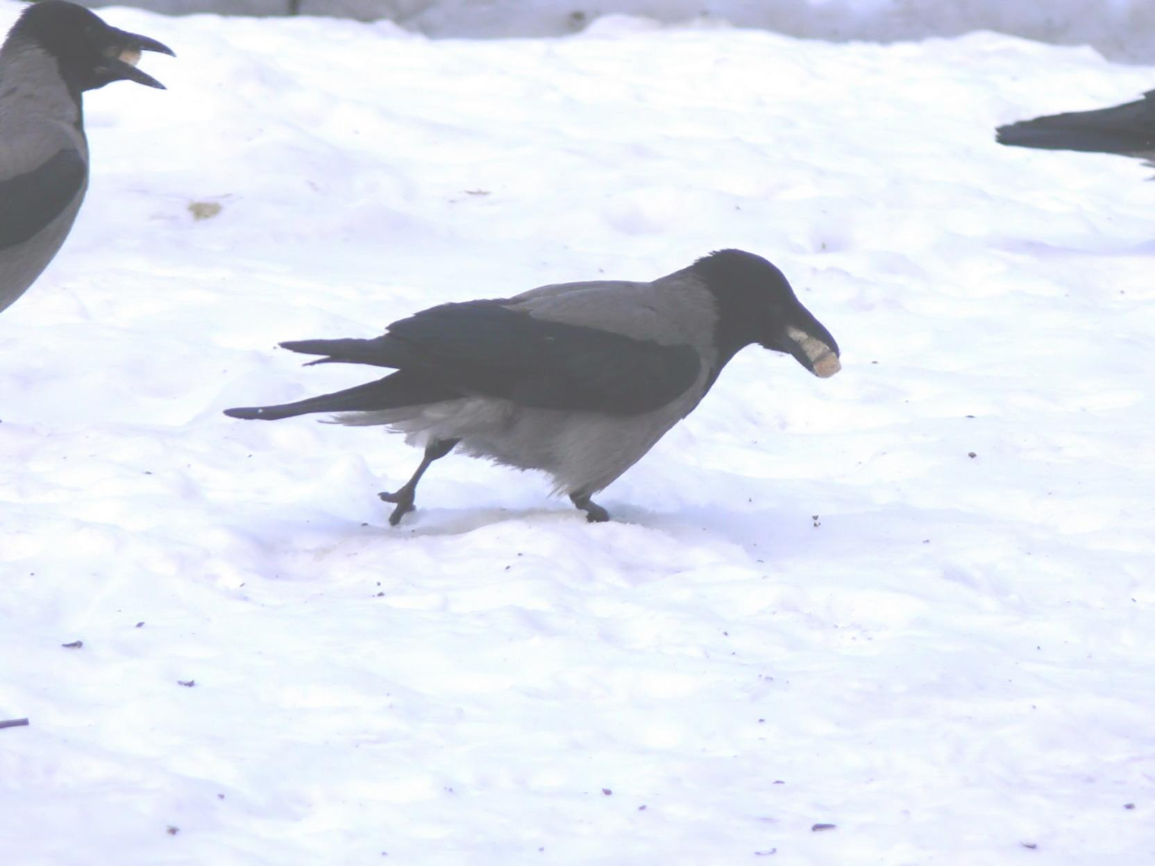 Зимние птицы ворона фото 4