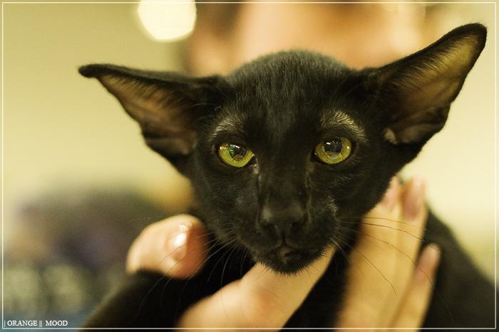 Наиболее грациозен и элегантен ориентал окраса эбони self black. Название происходит от названия черного эбенового дерева. Непременным условием этого окраса является не только интенсивно черный шерстный покров, но и черные подушечки лап. Ориентальные кошки, фото породы кошек.