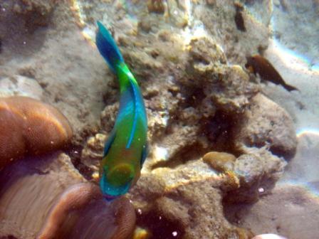 Галерея альбомов Foto.ru :: Рыбы Красного моря :: рыба попугай.