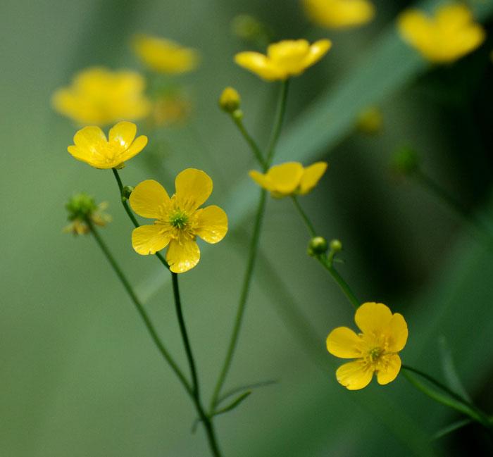 Фото куриная слепота цветы