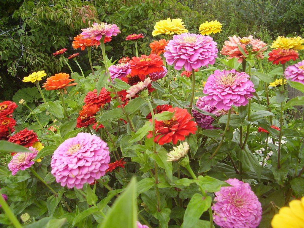 Многолетние цветы в грядках