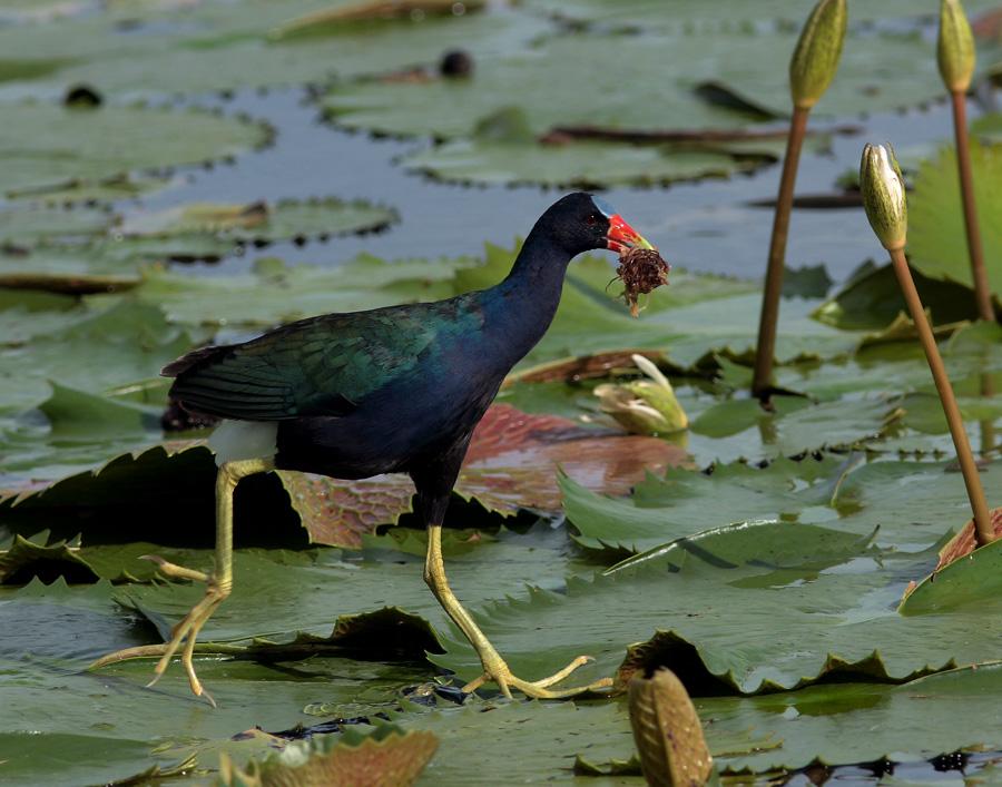 ФотоОхота.  Раздел.  Серия: Птицы Доминиканы.