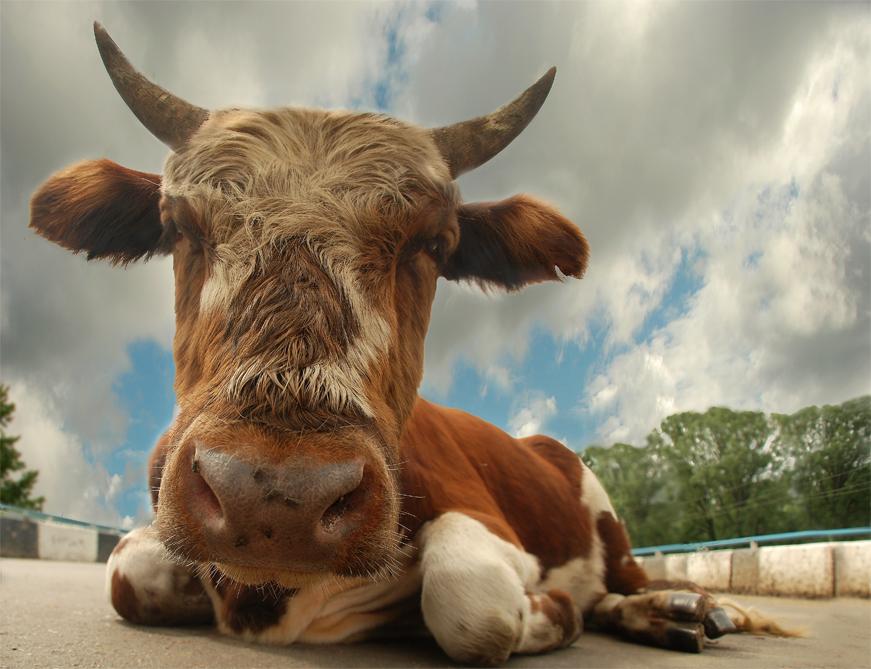 Картинка быка с приколом, картинки нивой