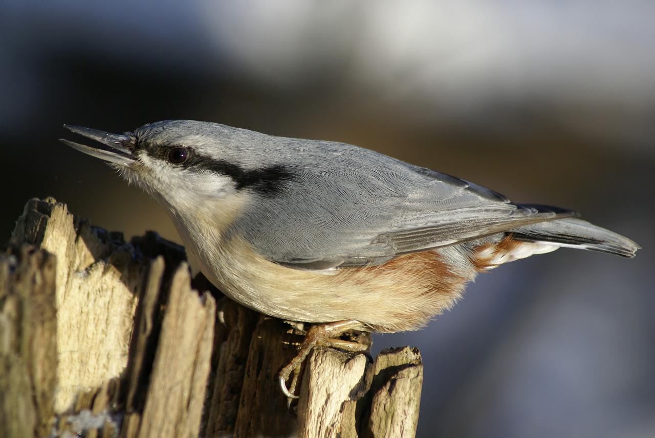 серая птичка с длинным клювом фото близких