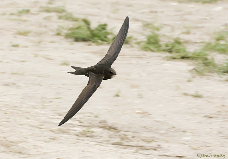 Черный стриж, фото Дмитрия Якубовича (www.birdwatch.by)
