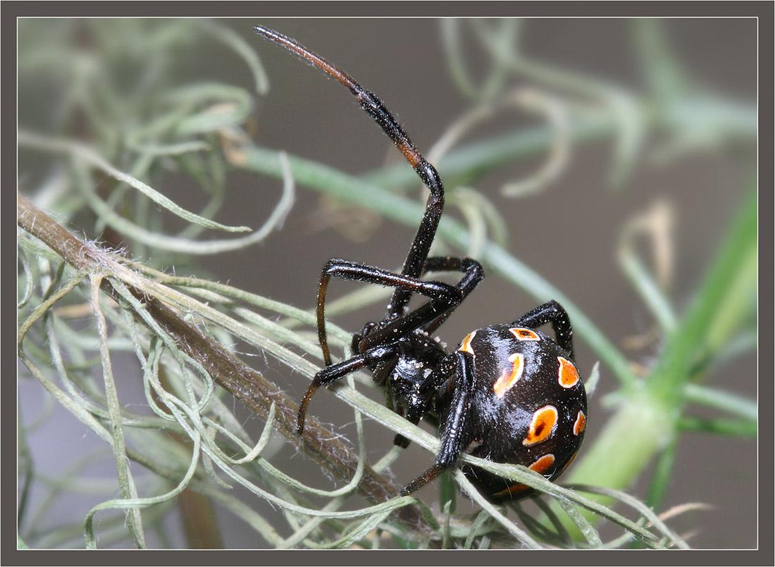 пауки каракурты фото