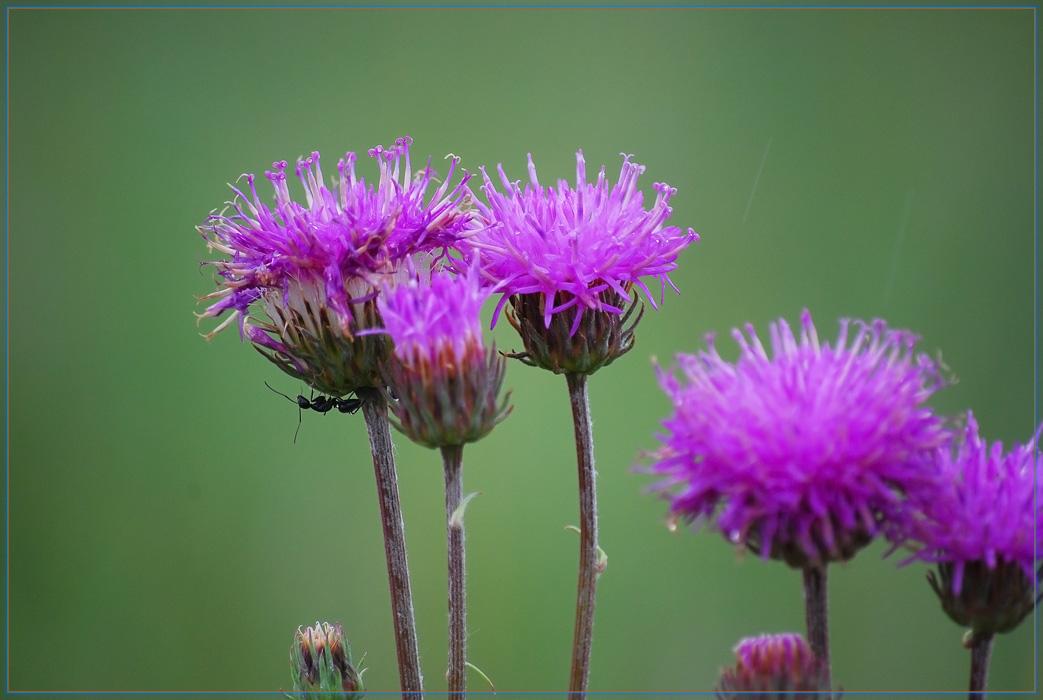 Полевые цветы названия и фото