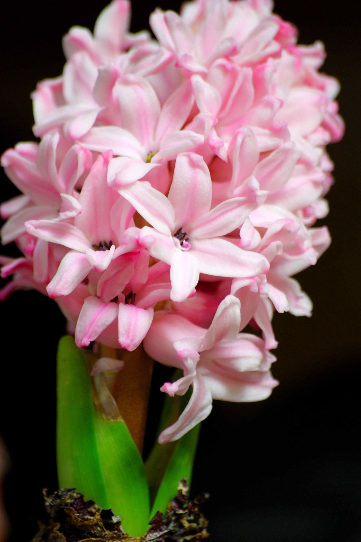 Картинки цветка гиацинт 5
