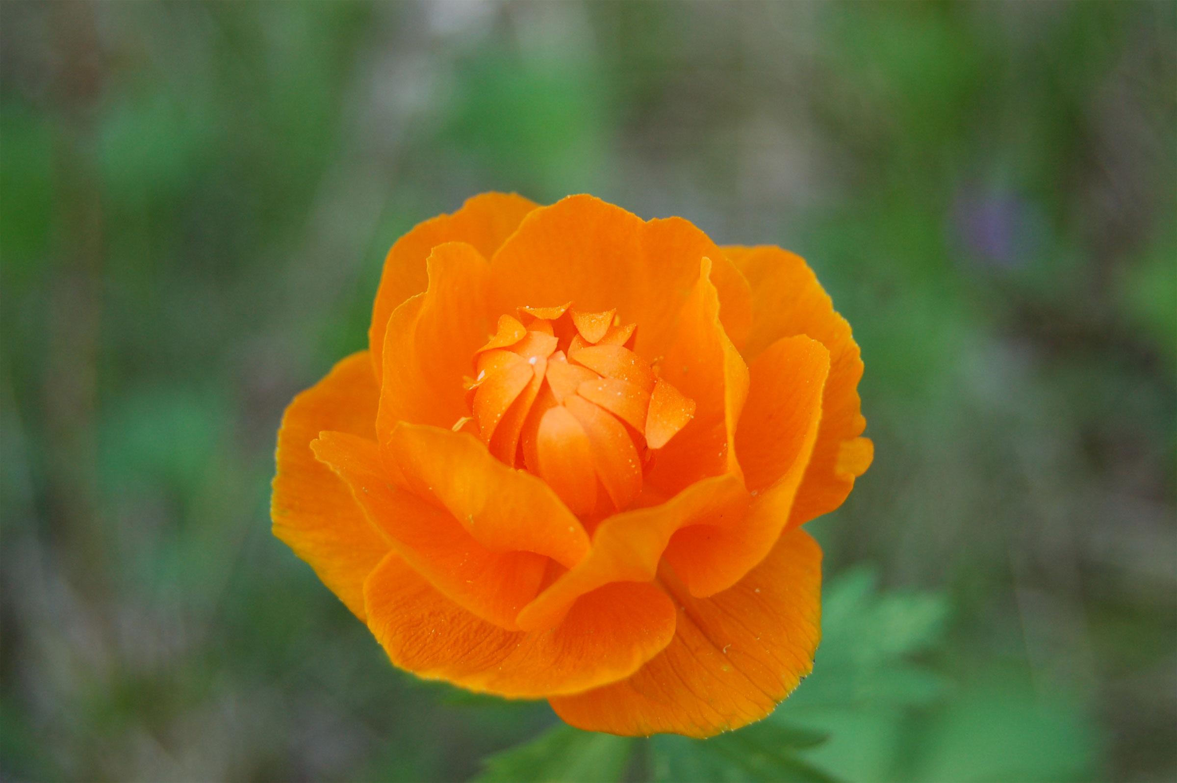 Цветок огонек в хорошем качестве
