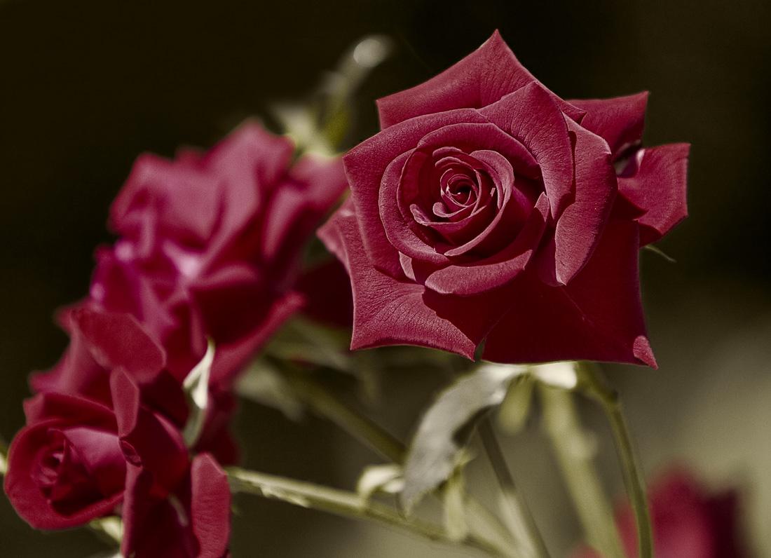 ev_gen :: Роза 2 :: Цветы. Флора :: Галерея :: Клуб Foto.ru