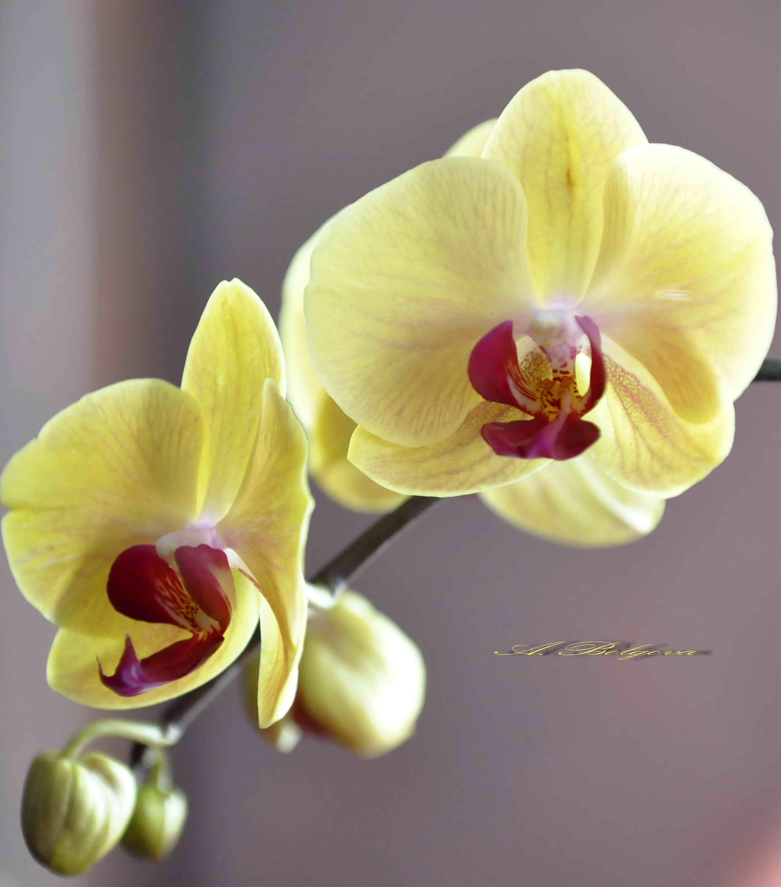 Самые редкие виды орхидей фото и названия будут