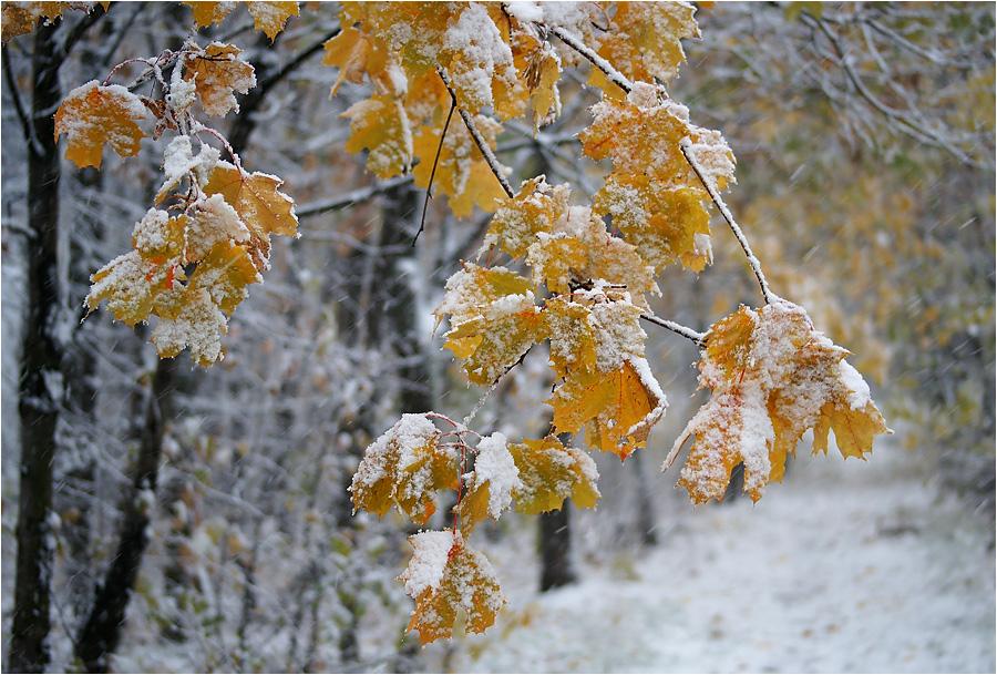 клен как выглядит зимой оральные