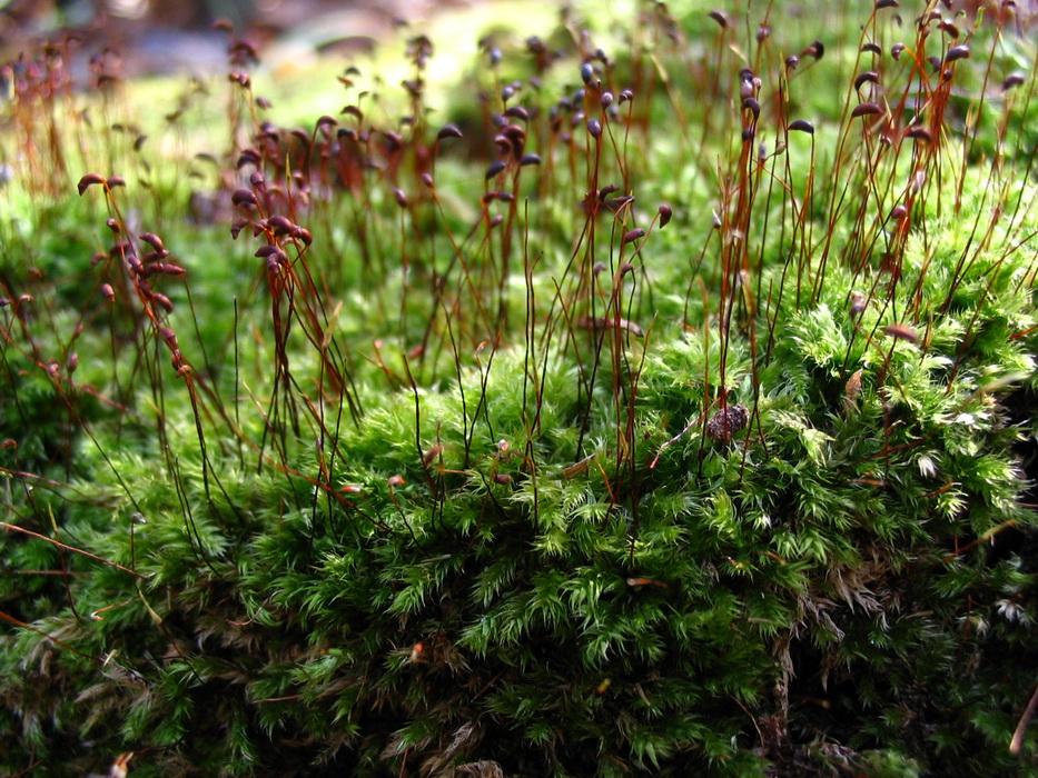 цветущий мох фото и название кого растут