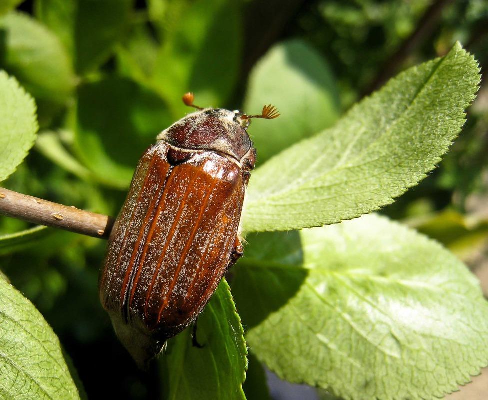Майский жук фото и описание
