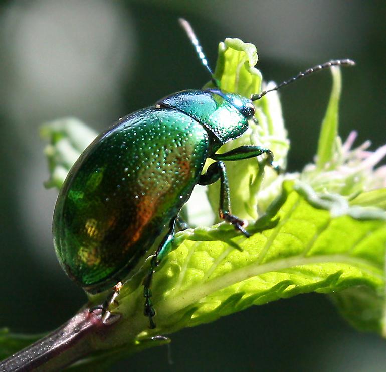 его находят зеленый жук фото название коллекция