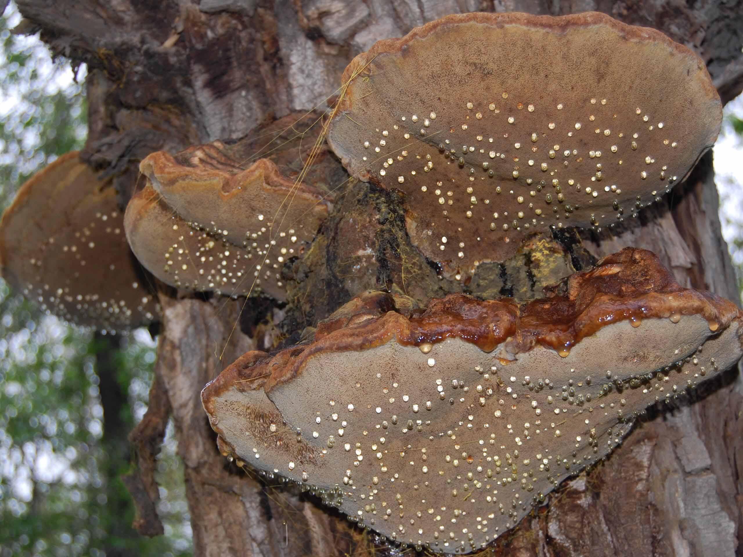 новикову предложили грибы растущие на деревьях съедобные фото крупную
