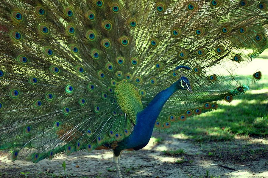 Картинки фото жар птицы