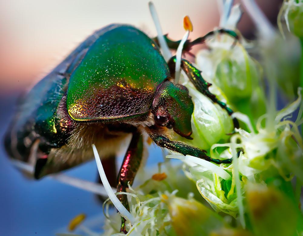 лайкнуть жуки картинки макросъемка растр сохранившимся наших дней