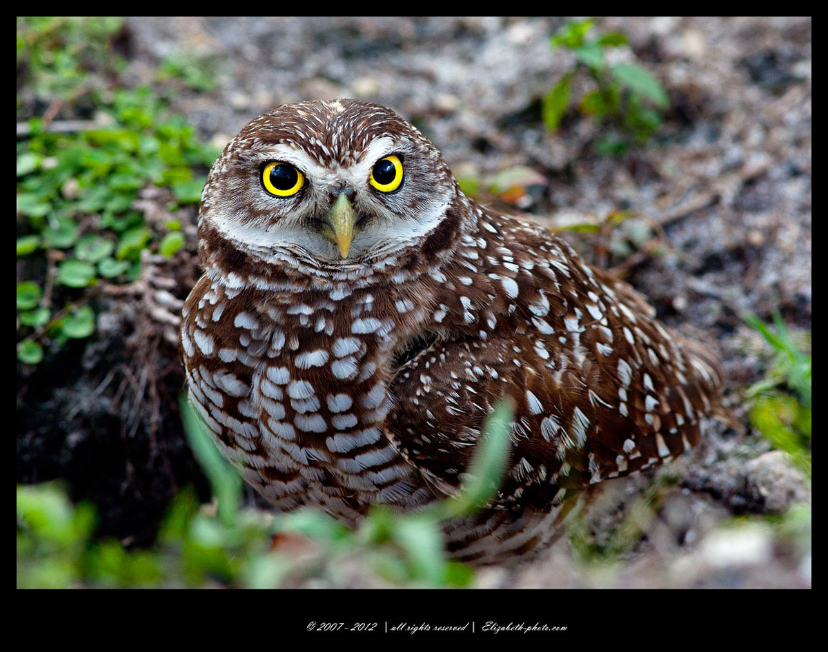 Legend of the Guardians The Owls of GaHoole  Wikipedia