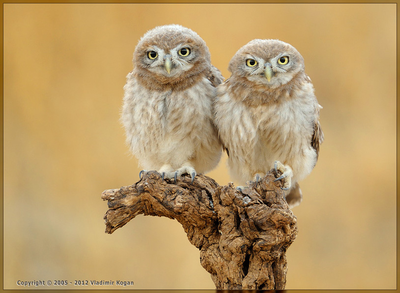 Little Owl: family portrait