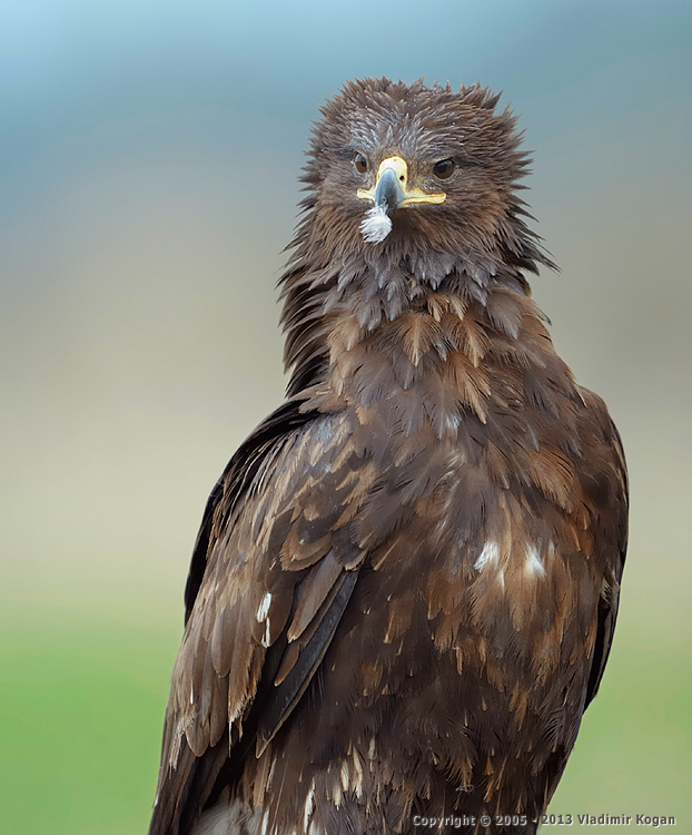 Greater Spotted Eagle: портрет