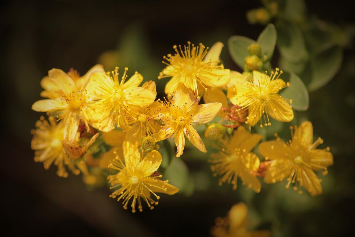 Фото цветков зверобоя