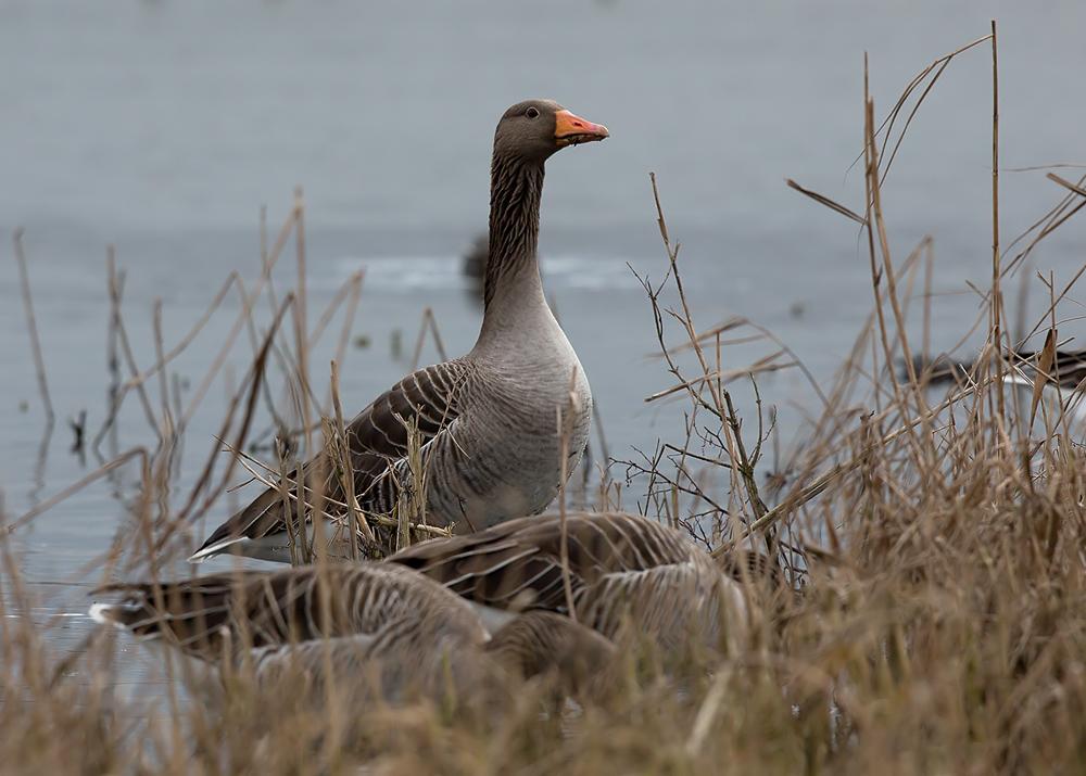 Серый гусь, охота на гуся, весенняя охота на гуся, как отличить серого гуся, серый гусь фото