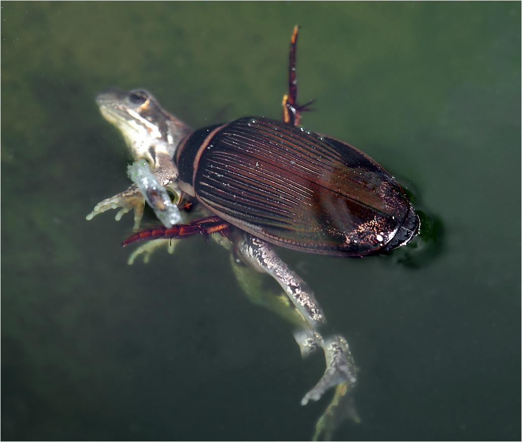 Картинки растений и животных водоема суслик водомерка плавунец лещ