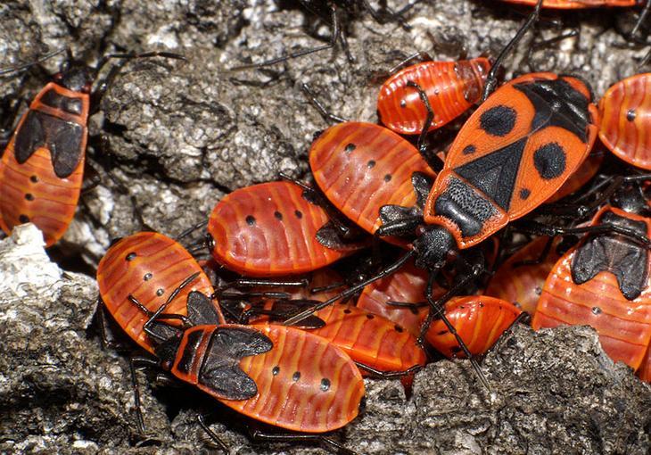 Жук пожарник насекомые - Насекомые в картинках