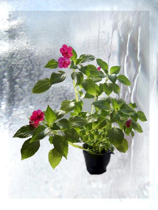 Домашний цветок ванька мокрый