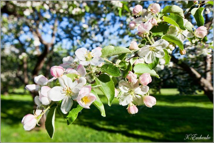 Ветка яблони картинка