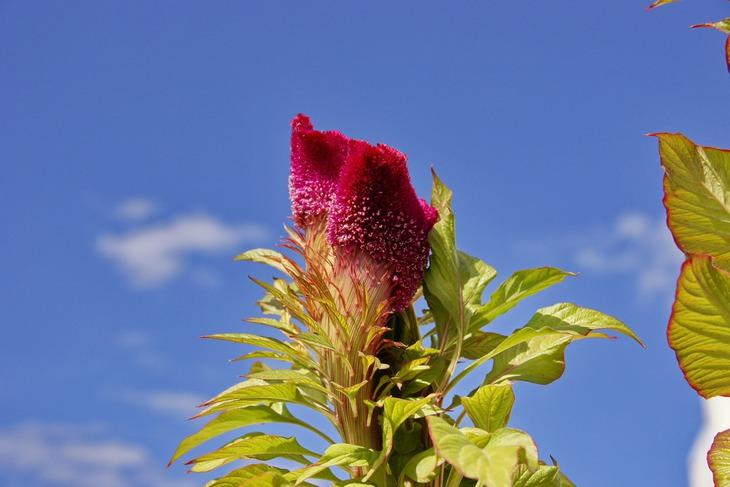 цветы петушки фото: