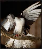 Безбашенный голубь единственная на